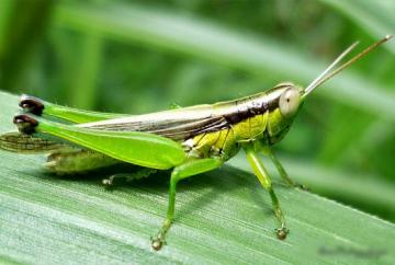 serangga-belalang