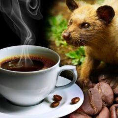 Kopi Luwak Indonesia, Kopi Ternikmat dan Termahal Di Dunia